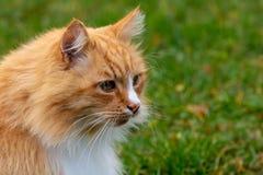 Het portret groene achtergrond van de gember wilde volwassen kat stock afbeeldingen