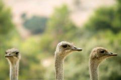 Het portret openlucht bos groene bomen van de struisvogel Royalty-vrije Stock Afbeelding