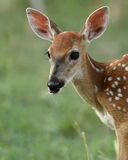 Het Portret van Bambi Royalty-vrije Stock Foto's