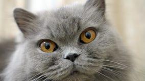 Het portret van Britse katten dichte omhooggaand, heeft pret stock afbeeldingen