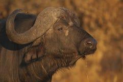 Het portret van buffels Stock Fotografie