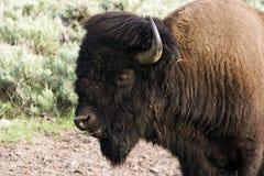 Het portret van buffels royalty-vrije stock foto's