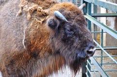 Het portret van buffels Stock Afbeeldingen