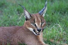 Het Portret van Caracal of van de Lynx Royalty-vrije Stock Foto