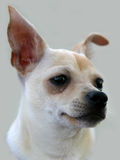 Het Portret van Chihuahua royalty-vrije stock afbeelding
