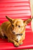 Het Portret van Chihuahua Stock Afbeeldingen