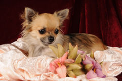 Het portret van Chihuahua met bloemen Stock Foto's
