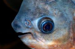 Het portret van Colosomavissen stock foto