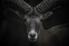 Het portret van Cyprus Mouflon royalty-vrije stock afbeeldingen