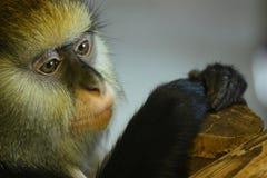 Het Portret van de aap Stock Afbeelding
