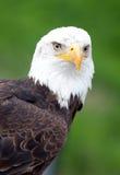 Het portret van de adelaar Royalty-vrije Stock Foto
