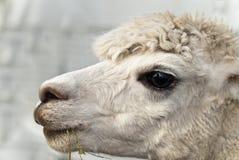 Het portret van de alpaca Stock Foto's