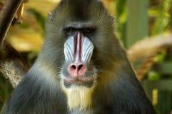 Het Portret van de baviaan Stock Foto's