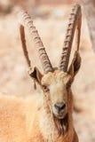 Het portret van de berggeit in de Nationale Reserve, Negev, Israël Stock Fotografie