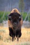 Het portret van de bizon Stock Foto's