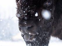 Het portret van de bizon Stock Afbeeldingen