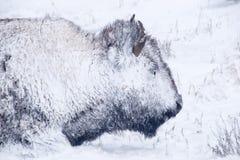 Het Portret van de bizon in de Blizzard van de Winter Royalty-vrije Stock Afbeelding