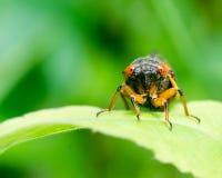 Het Portret van de cicade Royalty-vrije Stock Afbeelding
