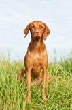 Het Portret van de close-up van een Hond Vizsla met Wildflowers Royalty-vrije Stock Afbeelding