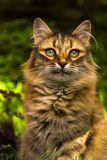 Het portret van de close-up van een kat Stock Afbeeldingen