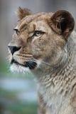 Het portret van de close-up van een majestueuze leeuwin Royalty-vrije Stock Afbeeldingen
