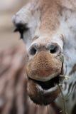 Het portret van de close-up van giraf Royalty-vrije Stock Foto's