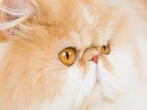 Het portret van de close-up van Perzisch Royalty-vrije Stock Fotografie