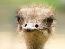 Het portret van de close-up van struisvogel Royalty-vrije Stock Foto