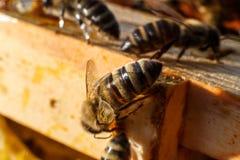 Het portret van de close-upbij op honingraat in bijenkorf Bijenteeltconcept stock afbeelding