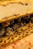 Het portret van de close-upbij op honingraat in bijenkorf Bijenteeltconcept royalty-vrije stock fotografie