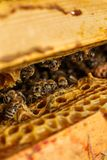 Het portret van de close-upbij op honingraat in bijenkorf Bijenteeltconcept stock fotografie