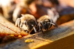 Het portret van de close-upbij op honingraat in bijenkorf Bijenteeltconcept royalty-vrije stock foto