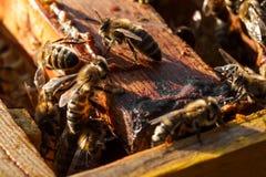 Het portret van de close-upbij op honingraat in bijenkorf Bijenteeltconcept stock afbeeldingen