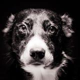 Het Portret van de Collie van de grens Stock Fotografie