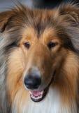 Het portret van de colliehond royalty-vrije stock foto