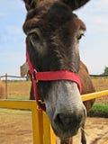 Het Portret van de ezel stock foto's