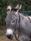 Het portret van de ezel royalty-vrije stock foto's