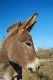 Het portret van de ezel Stock Afbeeldingen