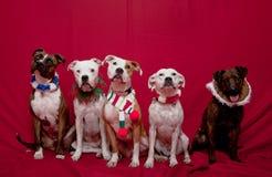 Het portret van de familieKerstmis van Pitbull Stock Afbeeldingen