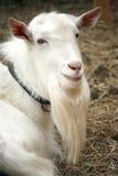 Het portret van de geit Stock Afbeelding