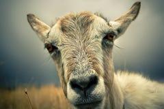 Het portret van de geit Stock Foto's