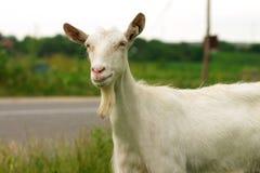 Het portret van de geit Royalty-vrije Stock Afbeeldingen
