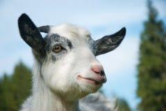 Het portret van de geit Royalty-vrije Stock Afbeelding
