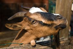 Het portret van de geit stock fotografie