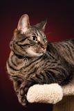 Het Portret van de Gestreepte kat van de makreel Stock Foto's