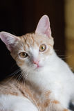 Het portret van de gestreepte katkat Royalty-vrije Stock Afbeelding