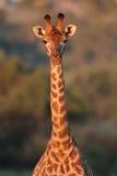 Het portret van de giraf stock afbeelding