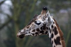 Het portret van de giraf royalty-vrije stock foto's