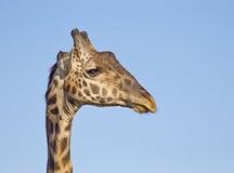 Het portret van de giraf Stock Foto