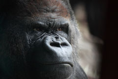 Het portret van de gorilla Stock Foto